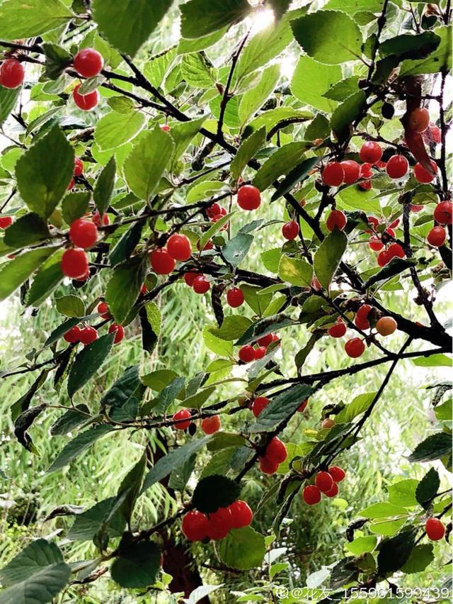 夏天常见6种水果,家里种一盆,果子多得摘不完安卓版