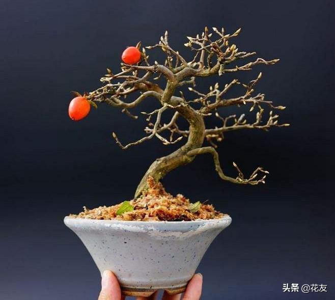 老鸦柿盆景不长叶怎么办?安卓版