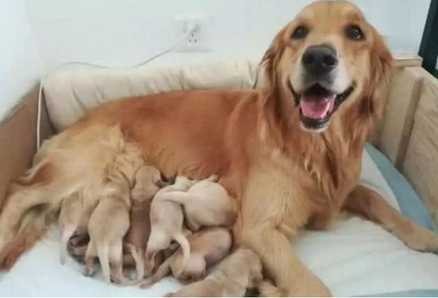 金毛被土狗占便宜,主人气得想屠狗,看到生下的狗宝高兴坏了安卓版