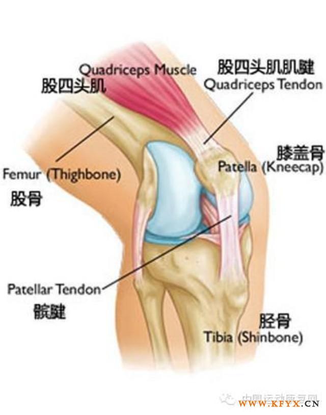 股四头肌腱疼痛症状,髌腱及股四头肌腱断裂修复术后康复