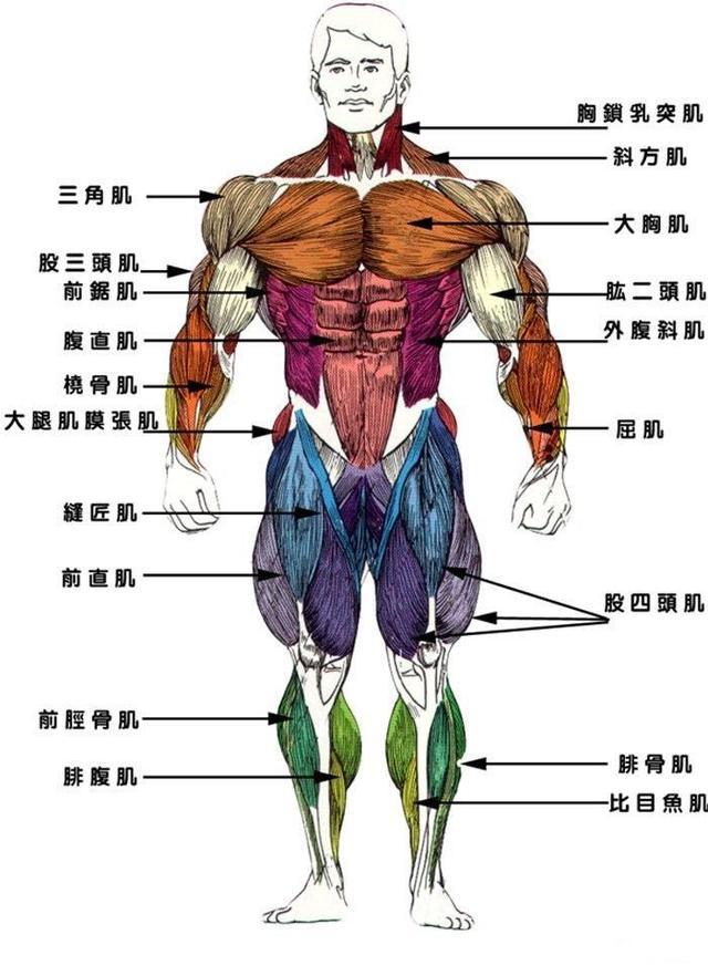 股四头肌腱疼痛症状,腿部肌肉之股四头肌