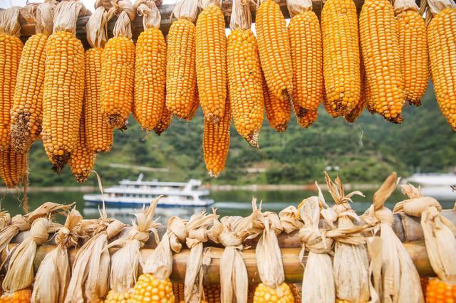 「独家」玉米价格持续冲高要拐弯,有企业单日下调100多元?