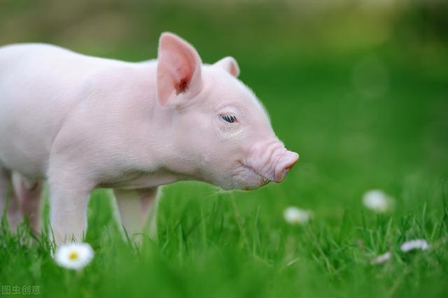 猪市通今日热点:全国生猪价格主流下跌-今日股票_股票分析_股票吧