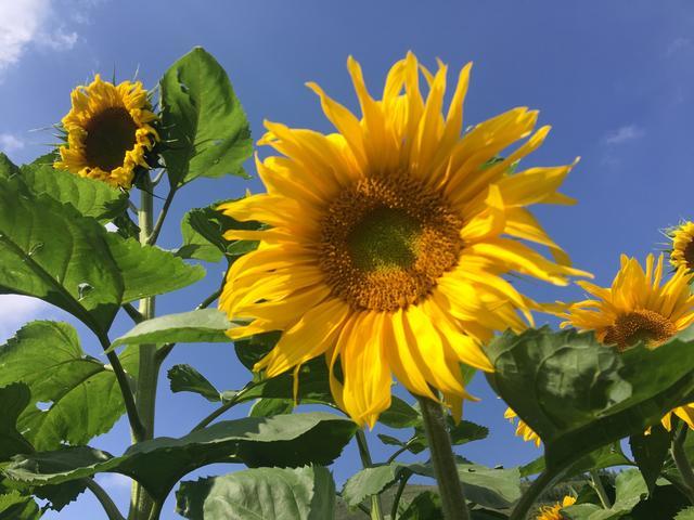 2020年首届水磨村葵花节灿烂来袭!向着太阳来一场旅行吧