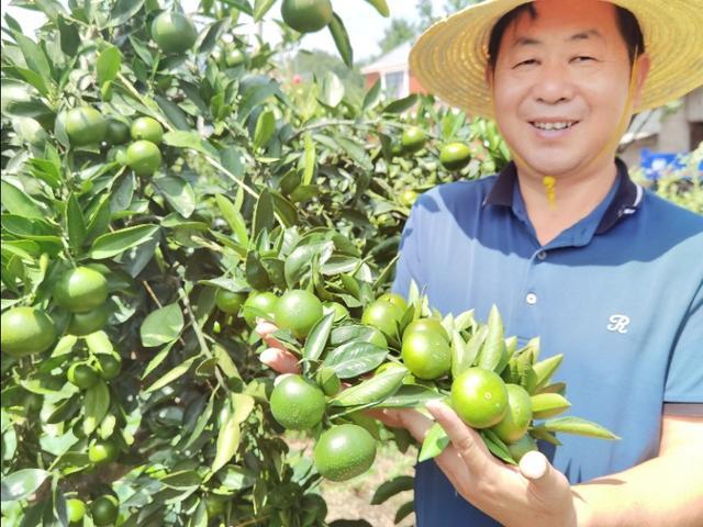 湖北磨市:一种特早熟蜜桔开始尝鲜了,糖度已达12度,果子压断枝