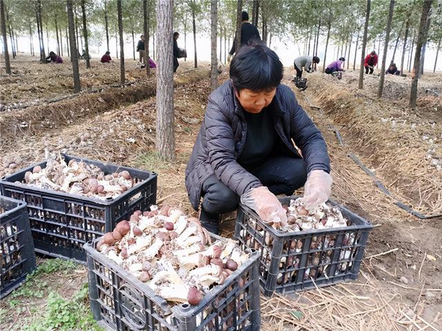 平顶山宝丰县商酒务镇:小小赤松茸铺就大众致富路插图1