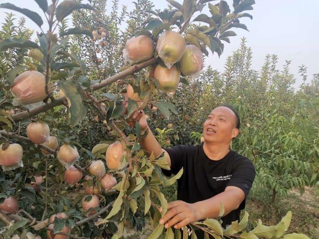 """河南杞县:""""傻子・尚""""牌苹果装进粤港澳大湾区""""菜篮子"""""""