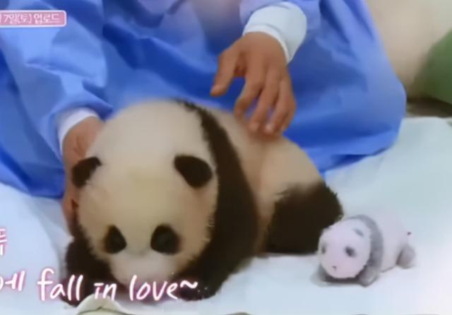 韩综又翻车?Blackpink违规接触熊猫幼崽,引发巨大争议 全球新闻风头榜 第5张