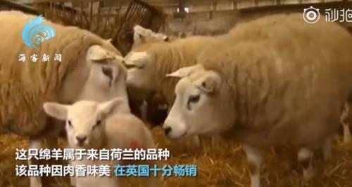 肉香味美!英国一只羊拍卖会上332万元成交www.smxdc.net