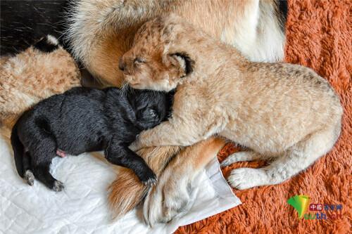 """牧羊犬给两只幼狮当""""妈妈""""暖心看护超有爱-第4张"""