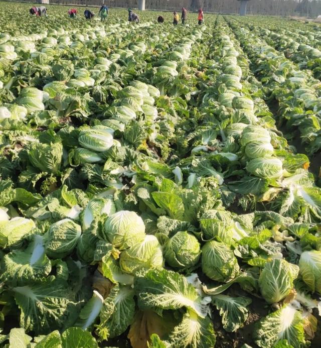 地头收购价格最低0.3元/斤,大白菜价格会上涨,还是下跌?