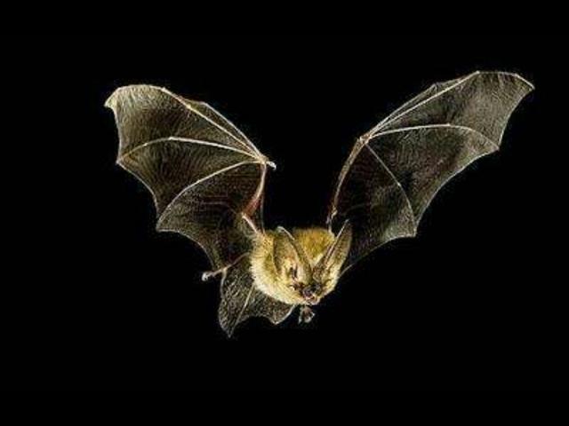 梅尧臣,蝙蝠并不是美味,鹰在特殊情况下才捕食,梅尧臣用诗说明了这件事