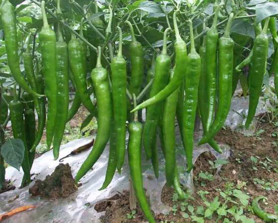 永春叶面肥在辣椒上施用20天后,产量至少增加30%