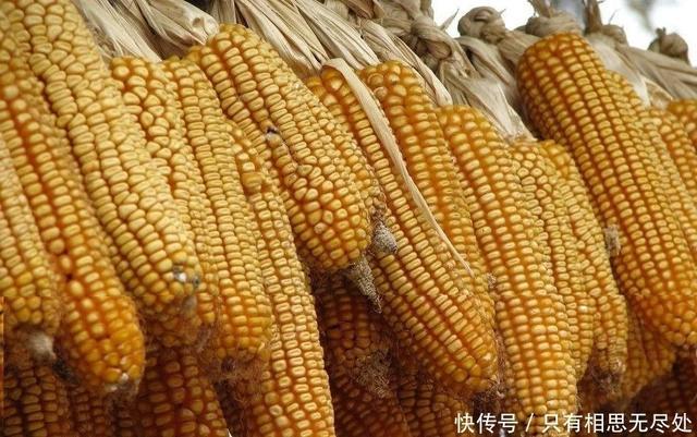玉米出现下跌趋势,养殖户先别急着高兴,玉米或将长期维持高价